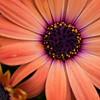 _1100786-Gerbana Daisy