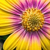 _1100937-Osteospermum Daisy