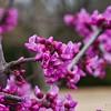 _1100989-Texas Redbuds, Cercis Canadensis-sig