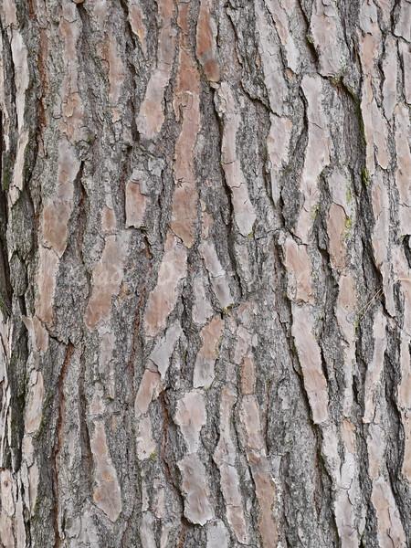 Old Pine Tree Bark