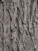 Old Elm Tree Bark