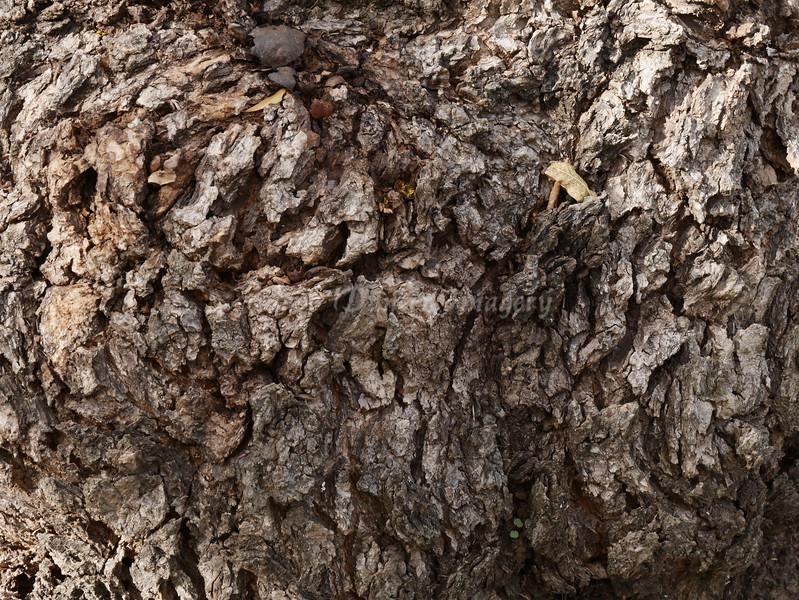 Old Oak Tree trunk