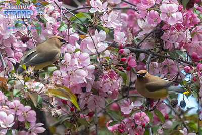 004-Waxwings in Crabapple-3821