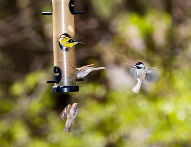 Backyard Birds 2018