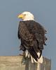 American Ball Eagle 1