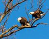 American Bald Eagle Talking