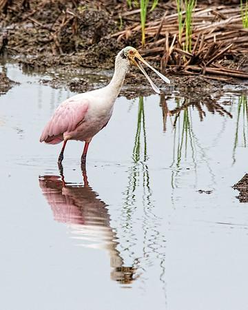 Birds of Anahuac NWR