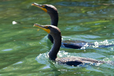 Double Crested Cormorant pair