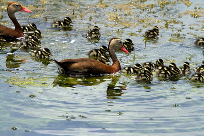 Black-Bellied Whistling Duck and Chicks