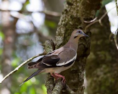 Nourning Dove