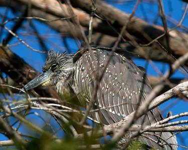 Yellow-Crowned Night Heron female