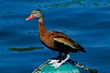 Black- Bellied Whistling Duck