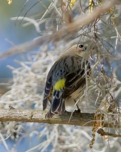 Yellow-Rumnped Warbler