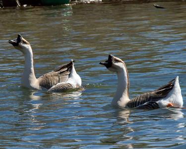 Swan Goose pair