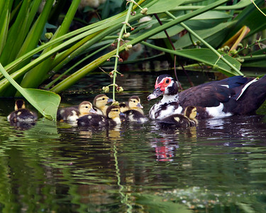Muscovy Duck and Chicks
