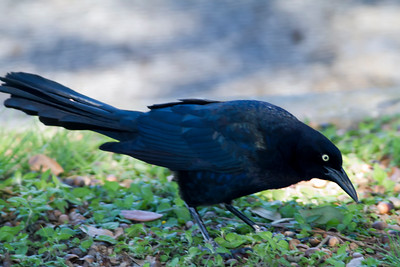 Boat Tailed Grackle male
