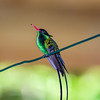 Jamaican Streamer-tailed Hummingbird_3
