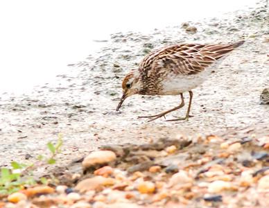 Birds of Swan Creek 2017