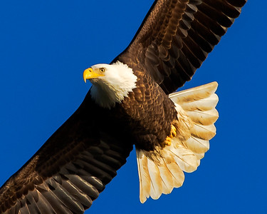 Conowingo Dam Eagles 11282014