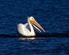 American White Pelican 7