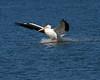 American White Pelican 4