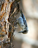 Pygmy Nuthatch 4