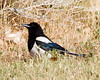 Black-Billed Magpie 2