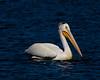 American White Pelican 8