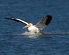American White Pelican 5