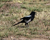 Black-Billed Magpie 3