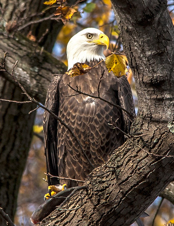 Eagle Day @ Conowingo Dam
