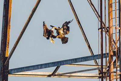 Eagle Fight at Conowingo Dam