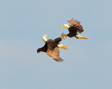 Eagle Fight at Schoolhouse Pond