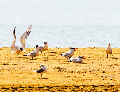 Sandy Point Caspian Terns