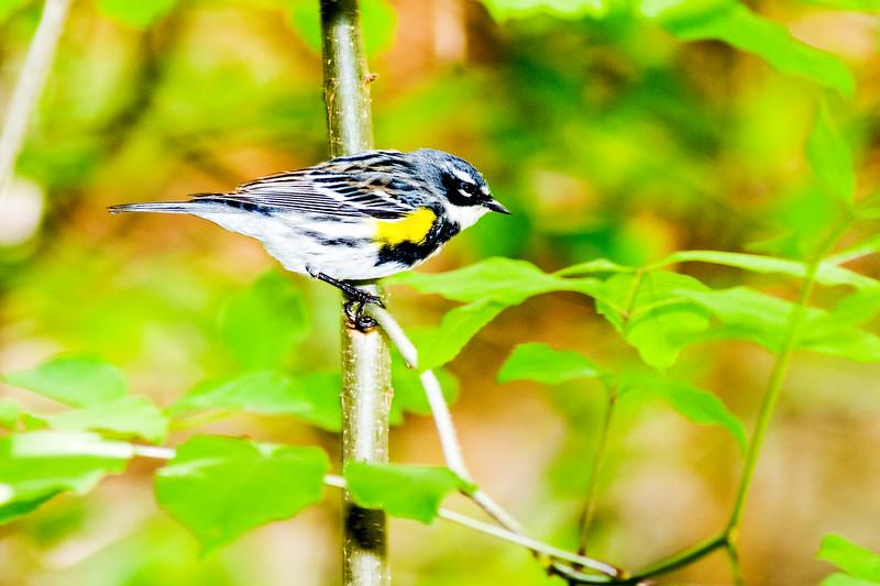 Yellow-rumped Warbler. (Myrtle)