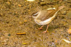 Louisiana Waterthrush