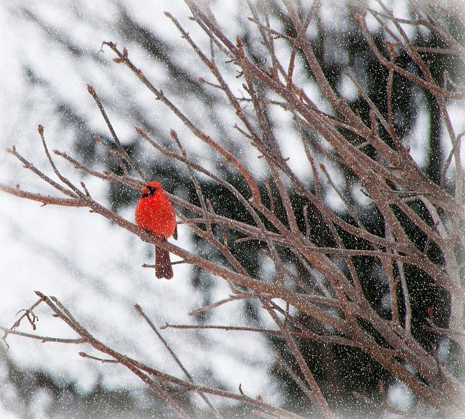 Male Cardinal in Snow  2