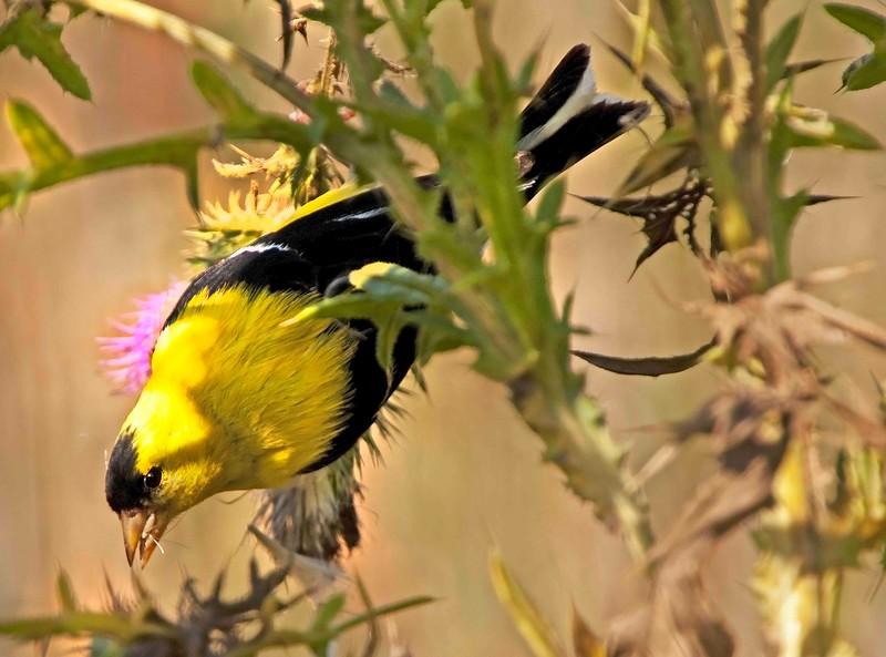 Male Gold Finch