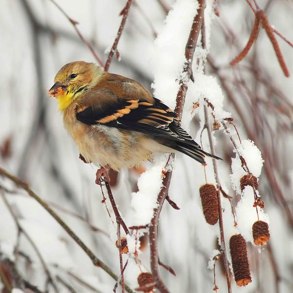 Wintering Gold Finch
