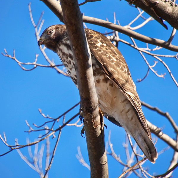 Immature Red-Shouldered Hawk sm.jpg