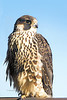 Peregrine Falcon-NJ Palisades