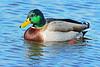 Mallard Drake on Pond