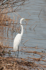 Great Egret - April 2011