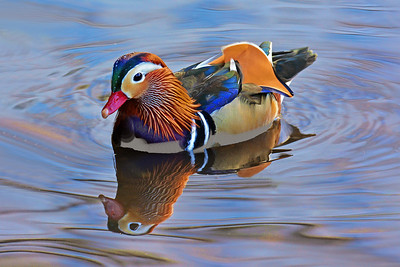 Mandarin Duck Central Park 3