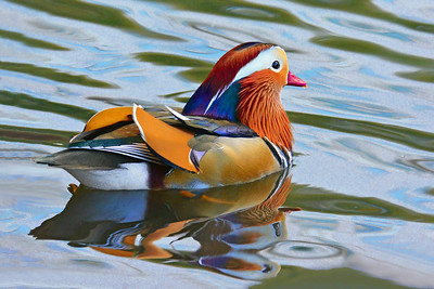 Mandarin Duck-Central Park 9