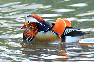 Mandarin Duck- Central Park 8