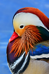 Mandarin Duck Portrait 3