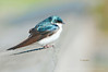 Tree Swallows : The Tree Swallows at DeKorte Park are great fun to watch as they prepare to nest in the boxes provided at DeKorte Park in the NJ Meadowlands.  Most images in this gallery were taken when the swallows landed on a wooden railing going to and from the next boxes.  The colors on these little beauties are just stunning as their iridescent feathers shimmer in the sunlight.