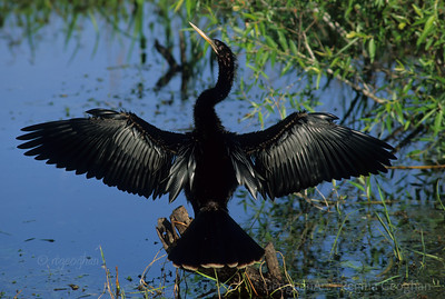 Anhinga Spreading Wings to Dry
