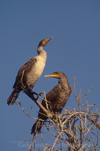 Double_Crested Cormorant Pair